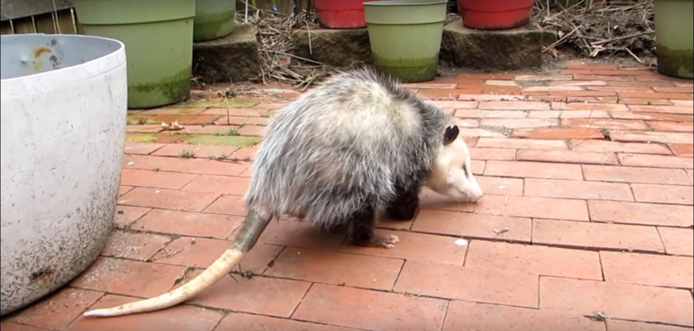 How to get Opossums Out from Under a Shed or Porch
